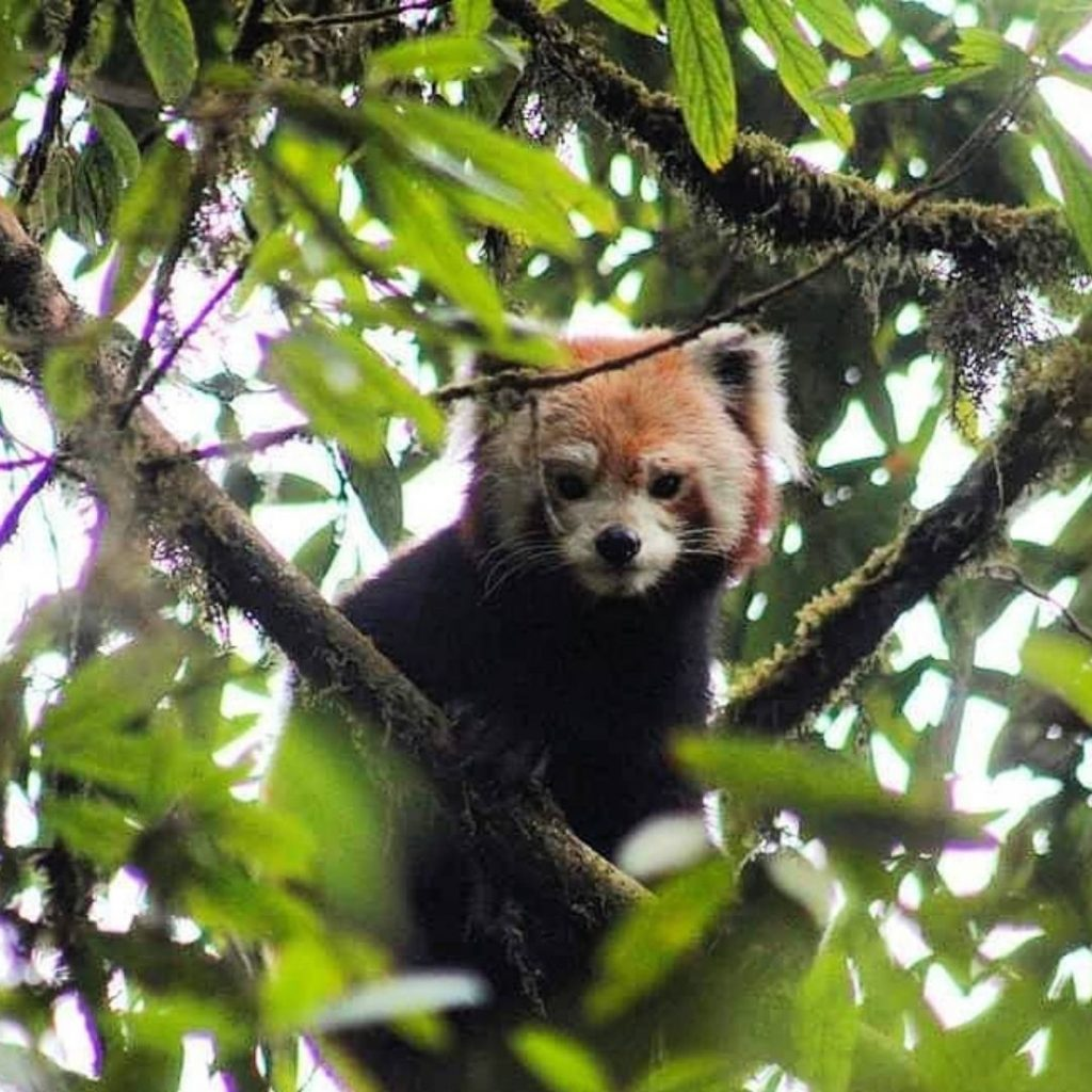 Red panda of Neora Valley national park