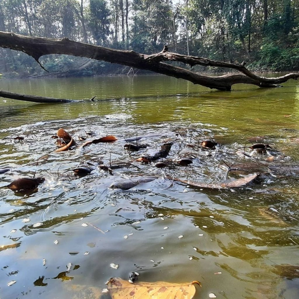 Fishes are being fed at Pokhri lake