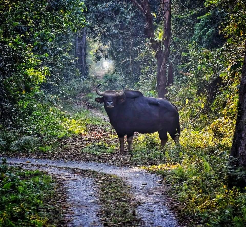 Bison at Chilapata Forest