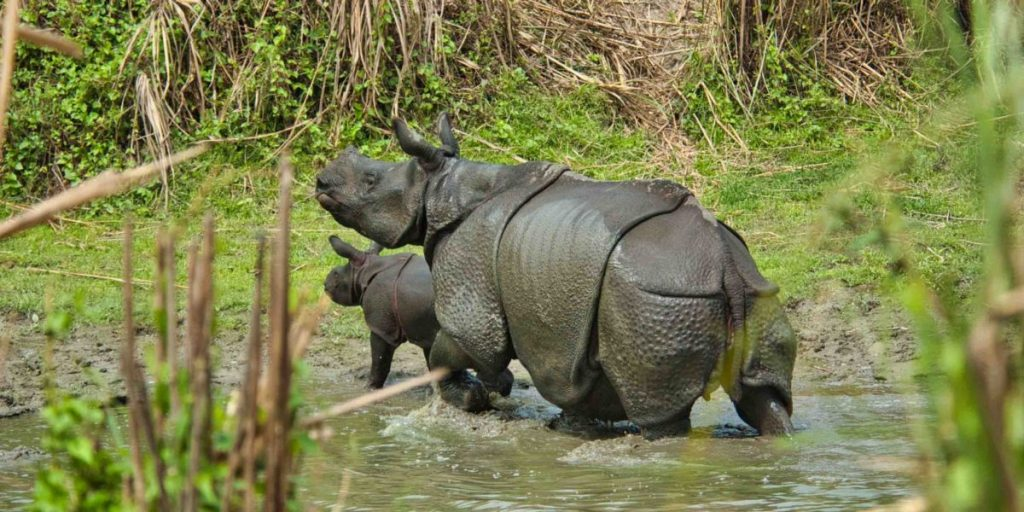 Rhino with calves are spotted at Chilapata