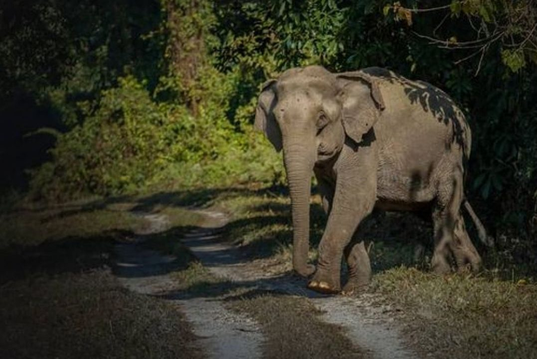 Elephant at Chilapata forest